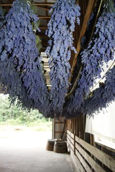 ~Fresh lavender bundles drying in the barn~  To dry lavender cut stems when the majority  have three flowers open. Bundle together tightly with a elastic band and then hang upside down (I use paper clips) out of direct sunlight  with lots of air circulation for two weeks.