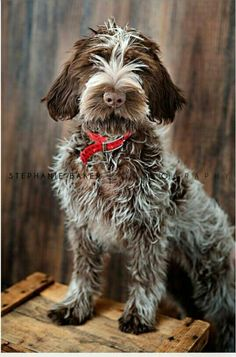 Wirehaired Pointing Griffon Pup
