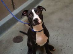 TO BE DESTROYED 09/13/16 **6 MONTH-OLD PUPPY!!!** Panda is an adorable, male…