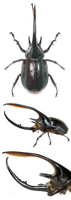 Dynastes neptunus beetle.