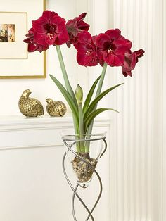 Benfica ~~ It's hard not to love the large (8 inches wide), dark red flowers of 'Benfica'. Men seem to particularly love the deep, rich shades of this elegant amaryllis.    Name: Hippeastrum 'Benfica'    Growing Conditions: Bright light; allow the potting mix to dry between waterings