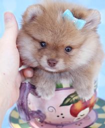 Fluffy Pomeranian Puppy by TeaCups, Puppies & Boutique