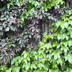 Amanda Oliver Gardens (@amandaolivergardens) • Instagram photos and videos Climbers, Amanda, Gardens, Herbs, Photo And Video, Videos, Plants, Photos, Instagram