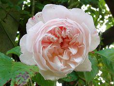 "David Austin Rose ""The Generous Gardener"""