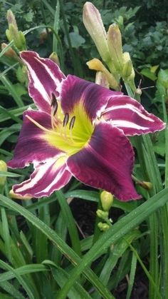 Photo of Daylily (Hemerocallis 'Clown Pants') uploaded by Ahead