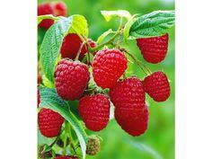 himbeeren-twotimer-sugana-1-pflanze-rubus-idaeus--19.jpg (772×579)