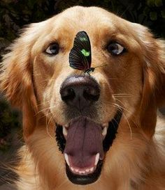 Goldens: so gentle, even butterflies love them!