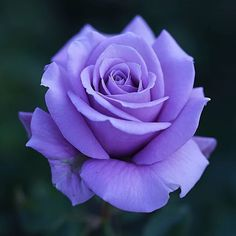 Excellent Free of Charge Lavender roses Tips Regardless of whether you enter town or maybe the country, lavender is required for delivering relax Beautiful Rose Flowers, Flowers Nature, Exotic Flowers, Amazing Flowers, Beautiful Flowers, Colorful Roses, Love Rose, Rose Reference, Rose Images