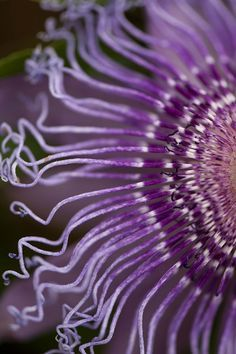 Passion Flower ~ NYBG, Flickr