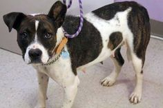 Liyah: Stunning pit mix available for adoption July 31 at high-kill SC shelter