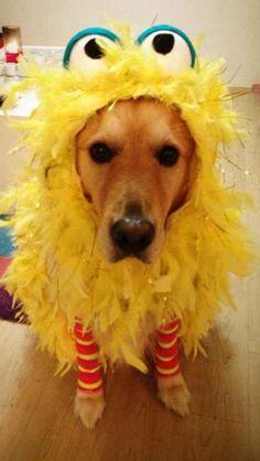 Dog dressed in Big Bird costume | Emilio | Pinterest ...
