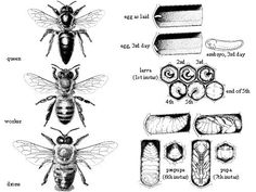 Life Cycle Of A Bee | ... Anatomy of a Honey Bee Parts of a Flower Lifecycle of a Honey Bee