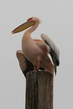 Pelican, Walvis Bay, Namibia - photo by Mike Gadd Tribal Style, Tribal Fashion, Wild Things, Tour, Animal Kingdom, Feathers, Africa, Creatures, Birds
