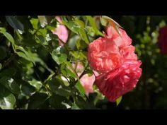Took a friend's cam and recorded some beautiful nature scenes. Beautiful Nature Scenes, Amazing Nature, Nature Tree, Flowers Nature, John Muir Wilderness, Tree Quotes, Sleeve Tattoos For Women, Tree Leaves, 4k Uhd