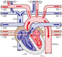 Cardiovascular System Anatomy and Physiology: Study Guide for Nurses med-surg nursing Medical Student, Medical School, Nursing Students, Student Memes, Medical Doctor, Medical Assistant, Med Surg Nursing, Cardiac Nursing, Nursing Degree