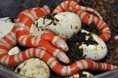 Serpent à deux têtes