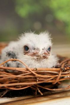 baby tawny frog mouth chick