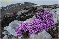 Saxifraga oppositifolia, Alpi Liguri, fiori alpini, fiori di montagna, alpine flowers