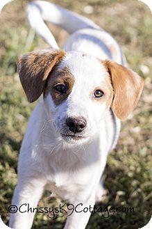 Fredericksburg, VA - Beagle Mix. Meet TootsiePop, a puppy for adoption. http://www.adoptapet.com/pet/11841132-fredericksburg-virginia-beagle-mix