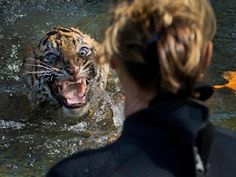 """A three-month-old Sumatran tiger cub named """"Bandar"""" shows his displeasure after being dunked for a swim reliability test at the National Zoo in Washington, D.C.  BANDAR DOES NOT LOOK HAPPY!!"""