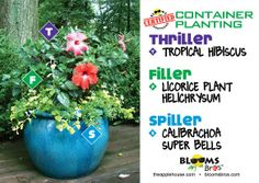 #containergardening using hibiscus, licorice plant, calibrachoa super bells #terrehaute #applehouse #flowerpots