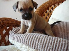 Chihuahua French bulldog mix!! OMG!!