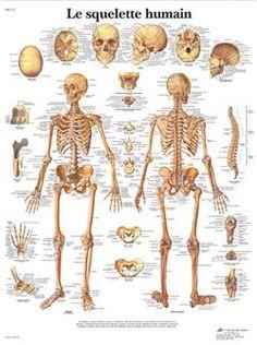 Planche Anatomique le Squelette Humain