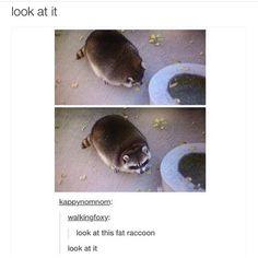 Cute fat pudgy racoon Cute animal meme