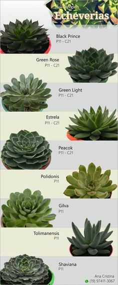 identify your echeveria succulents Types Of Succulents Plants, Growing Succulents, Cactus Plants, Garden Plants, Indoor Plants, Roses Garden, Succulent Gardening, Succulent Terrarium, Planting Succulents