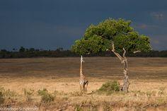 Stretch - A Giraffe feeding on the banks of the Mara river.