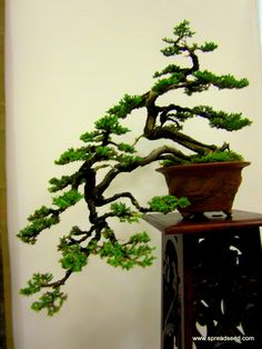 Another awesome Bonsai
