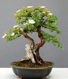 Easy To Grow Houseplants Clean the Air Potentille Bonsai Bonsai Art, Bonsai Plants, Bonsai Garden, Garden Plants, Flowering Bonsai Tree, Bonsai Tree Types, Potted Trees, Bonsai Trees, Mini Bonsai