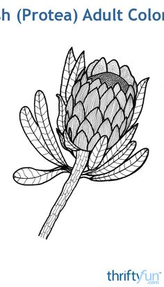 The protea is one of South Africa's most famous flowers. It is also called a sugarbush. The protea flower, which represents change and hope, is a local favorite in wedding bouquets. It is definitely one of my personal best-loved flowers. Free Adult Coloring Pages, Colouring Pages, Coloring Books, Protea Art, Protea Flower, South African Flowers, South African Art, Flower Prints, Flower Art