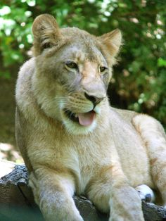 Zoo de Beauval - Lion 08