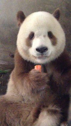 El unico panda marron en el mundo disfrutando de esa rica zanahoria