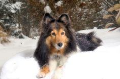 winter sheltie