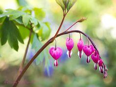 Kaum eine andere Pflanze weckt so nostalgische und romantische Gefühle wie das Tränende Herz. Die Staude ist nicht nur ausnehmend hübsch, sondern lässt sich auch sehr einfach im Garten zu kultivieren.