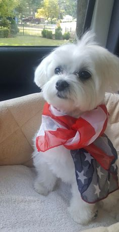 Cute Maltese with an American Flag scarf on. Teacup Puppies, Cute Puppies, Cute Dogs, Dogs And Puppies, Doggies, Teacup Maltese, Animals And Pets, Baby Animals, Cute Animals