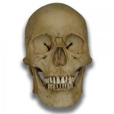 Fantastic Museum Quality Human Skull - Cast from real specimen.
