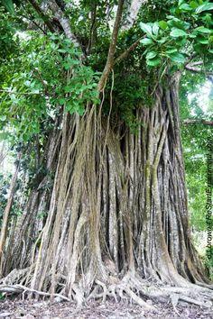 Costa Rica, Osa Peninsula, Matapalo Tree.