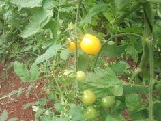 """Conocido por el """"gota de limón"""", un cherry bonito por su tonalidad amarilla intensa, muy buen sabor y resistencia a la maduración, recomendable."""