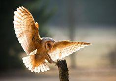 Beautiful barn owl. I love the light shining through the wings.
