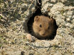 Tarla fareleri çok çabuk ve hızlı bir şekilde çoğalırlar. Tarla fareleri yılda altı defa yavru doğururlar ve her defasında 10 tane canlı yavru doğururlar. Tarla fareleri insana çok zarar veren bir haşeredir. Genellikle insanların besinlerini tükettikleri için insanlar tarafından hiç sevilmezler. Tarla faresi ekili alanlardaki sebze ve meyveleri büyük bir zevkle yerler ve ekinlerin tanelerini ve meyvelerini yuvasına taşıyarak ekinlere büyük zarar verirler. http://www.fareilaclama.org