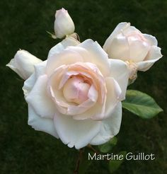 Blush Pink Rose Study - Martine Guillot with Buds