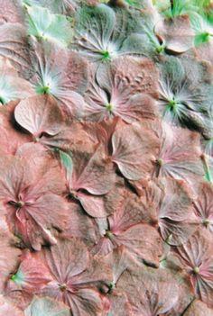 Hydrangea- Bloom magazine