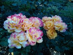 Double color roses