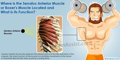 Know the function of Serratus Anterior Muscle or Boxer's Muscle as well as exercises like wall press, incline press and dumbbell pullover to strengthen the Serratus Anterior Muscle.