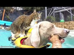 Well Trained Cat Repeatedly Jumps Onto Back of a Wonderfully Obliging Dog for a Ride Around the Pool
