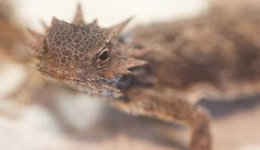 "I have such wonderful memories of these little fellows! ""Stare of the Coast Horned Lizard by San Diego Shooter, via Flickr"""
