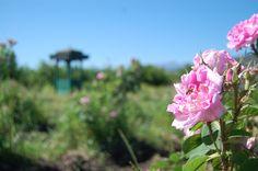 Rosa Damascena en campos de Chile. www.nativerose.cl